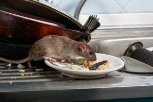 Schädlingsbekämpfer Frankfurt Ratten
