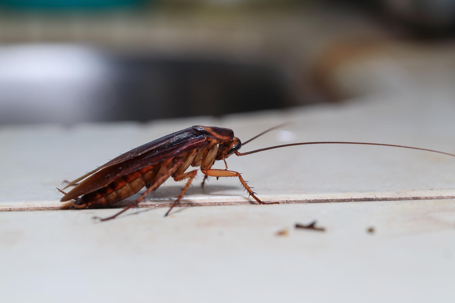 Kakerlaken bekämpfen Kammerjäger